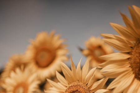 Sunflowers at Dorothea Dix Park | Must See In Raleigh NC by Jessica Linn